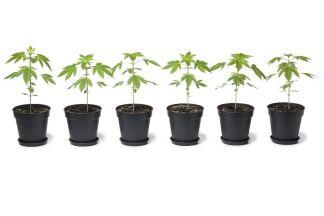 canna wiki.de Reihe von Cannabispflanzen in Töpfen - Cannabis Anbau