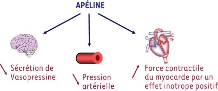 schéma apéline, cbd et covid_19