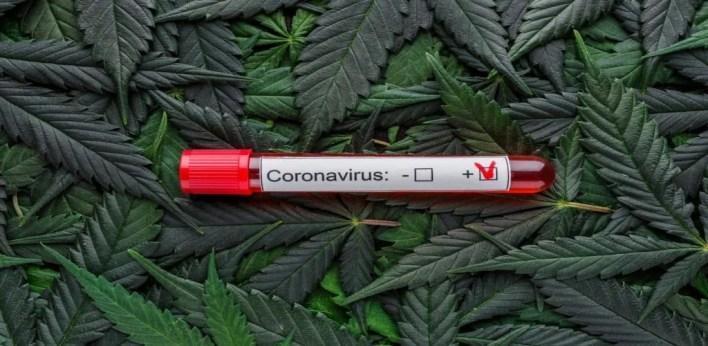 fiole à couvercle rouge avec ne inscritpion marqué coronavirus dessue- feuilles de cannabis en fond