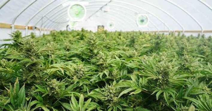 cannabis en serre