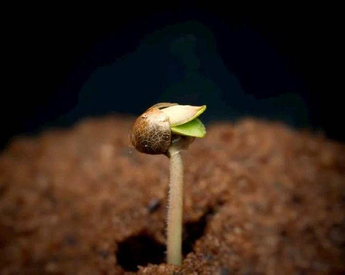 graine de cannabis en germination