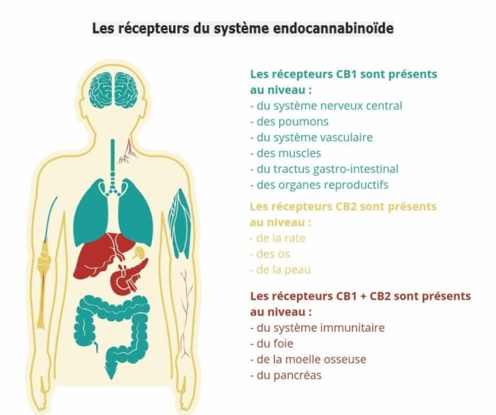 système endocannabinoide, thc vs cbd