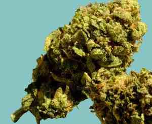 Gorilla GLue #4 Blüte