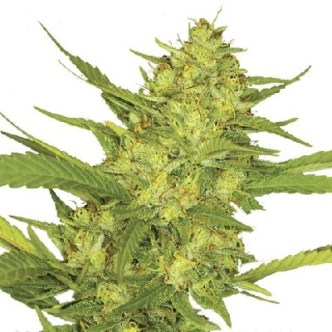 Buy Sour Diesel Cannabis Seeds