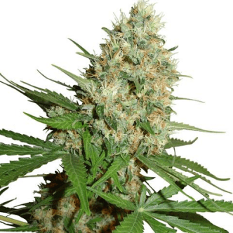 Trainwreck Cannabis Seeds USA
