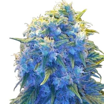 Blue Haze Seeds