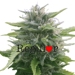 Harlequin Regular Cannabis Seeds