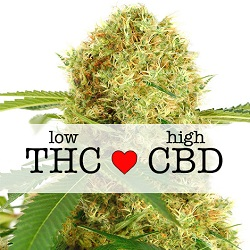 White Widow CBD Medical Cannabis Seeds