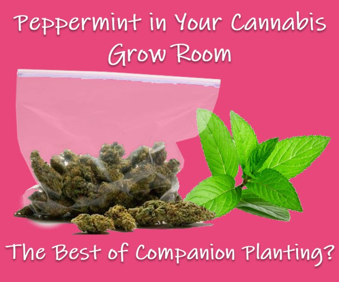 PEPPERMINT FOR CANNABIS PLANTS