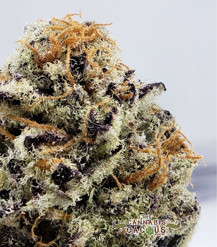 Purple Punch by Grow Sciences - The Cannabis Cactus