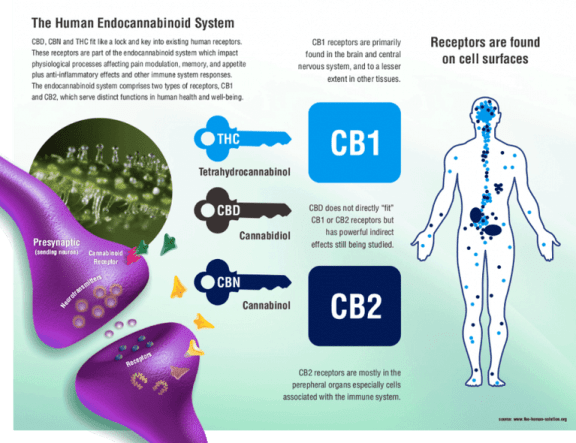 what are cannabinoids, cannabinoids effects, list of cannabinoids, cannabinoids receptors, cannabinoid chart, cannabinoids examples, cannabinoid system, cannabinoid products, how to pronounce cannabinoid, what are cannabinoids and how do they react in the body, endocannabinoid system science, what is thc, what is cbd