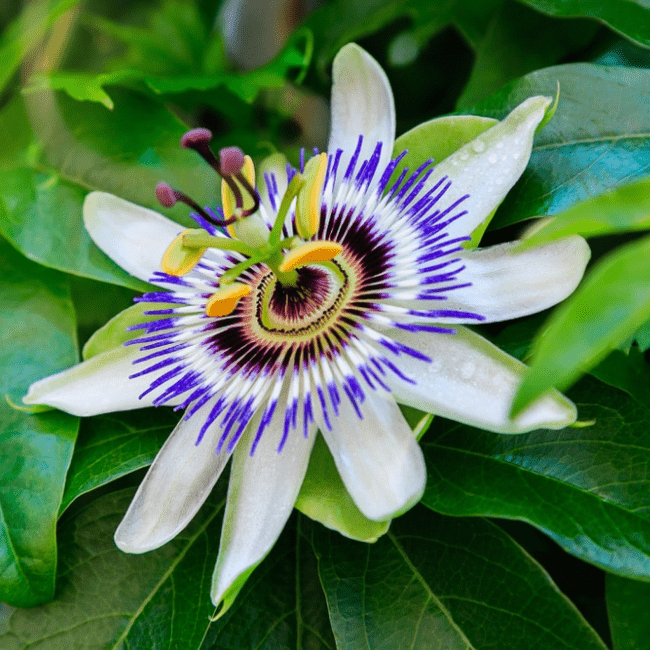 Passionflower has plentiful of  myrcene  to relieve your anxiety