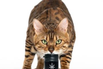 CBD oil for kittens