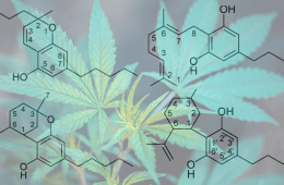 Minor cannabinoids: What are they and why are they trending?