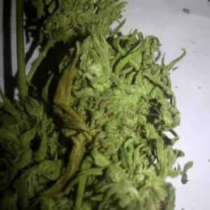 Shillong Mango strain, Meghalaya India