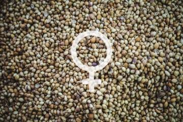 where to buy feminized cannabis seeds