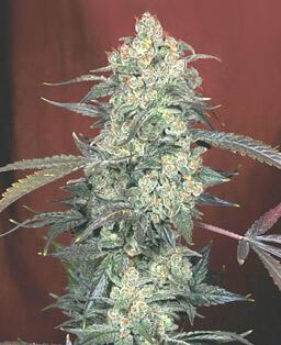 https://i2.wp.com/cannabismjseeds.com/img_files/ak_47.jpg