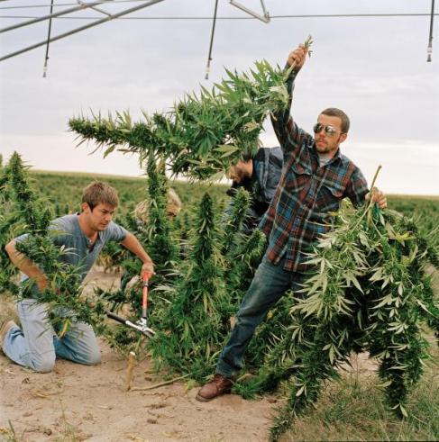01-marijuana-farming-adapt-590-1