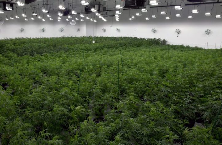 Inside a massive (and legal) marijuana cultivation centre