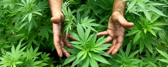 Cop Helps Grow Cannabis For Sick Granddaughter, Proceeds to Arrest Daughter-In-Law 1