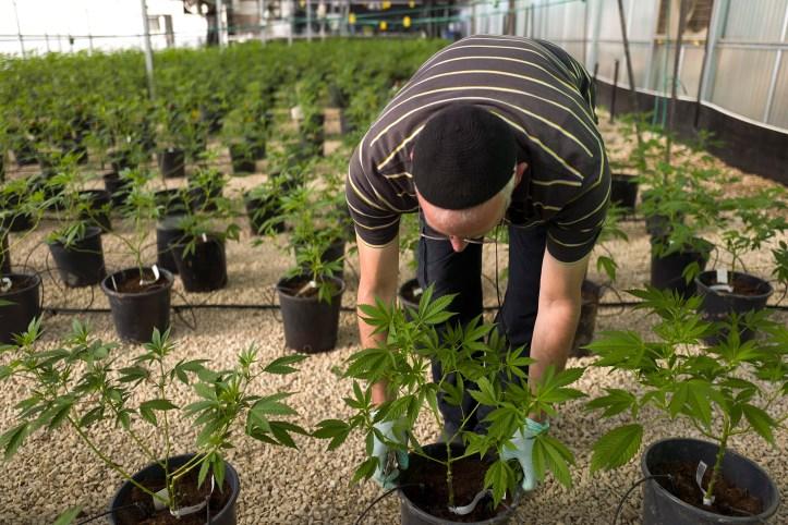 medical marijuana, cannabis nursery in israel