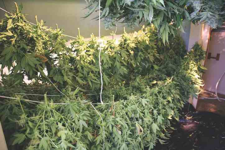 ins-outs-growing-cannabis-home-harvest-1.jpg
