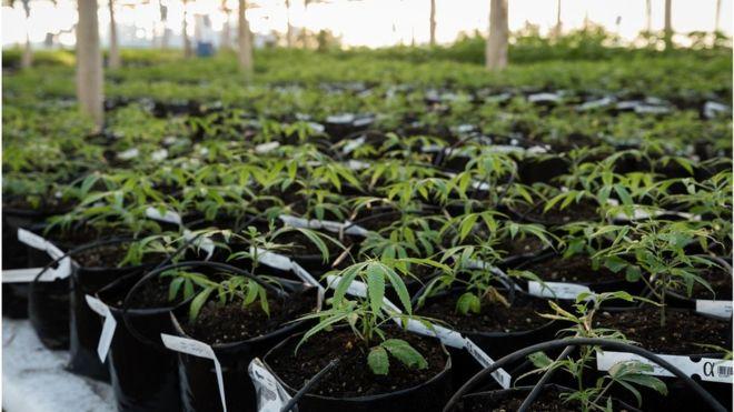 uruguay weed