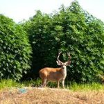 Humboldt County Considers Tax Incentives for Small Cannabis Farms