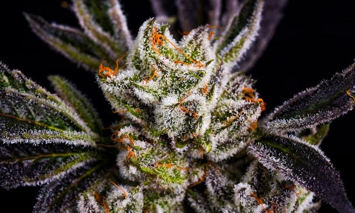 Jungle Boys Marijuana Strain Strawberry Shortcake Cannabis Now