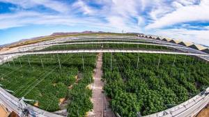 cannabis cultivation aerial image