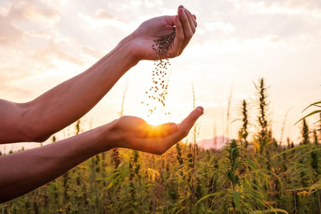 outdoor weed harvest