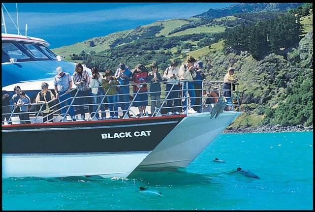 Hectors Dolphins on Akaroa Nature Tour