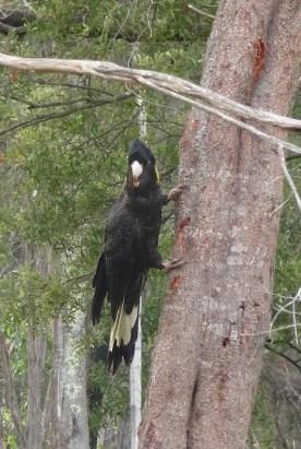 4.black cockatoo4