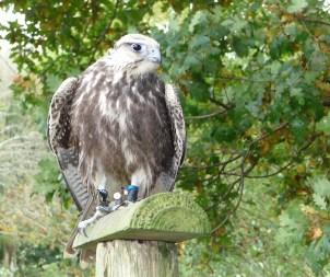 4.falcon