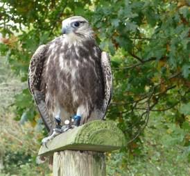 5.falcon