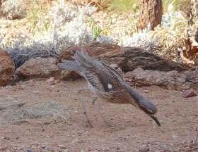 14-bush-stone-curlew