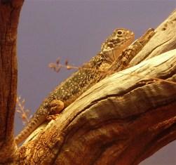 52-lizard