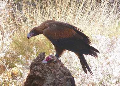 6-wedge-tailed-eagle