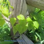 green leafy vine on wood fence