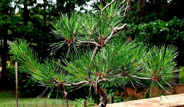 Bonsai Class – Pine Workshop