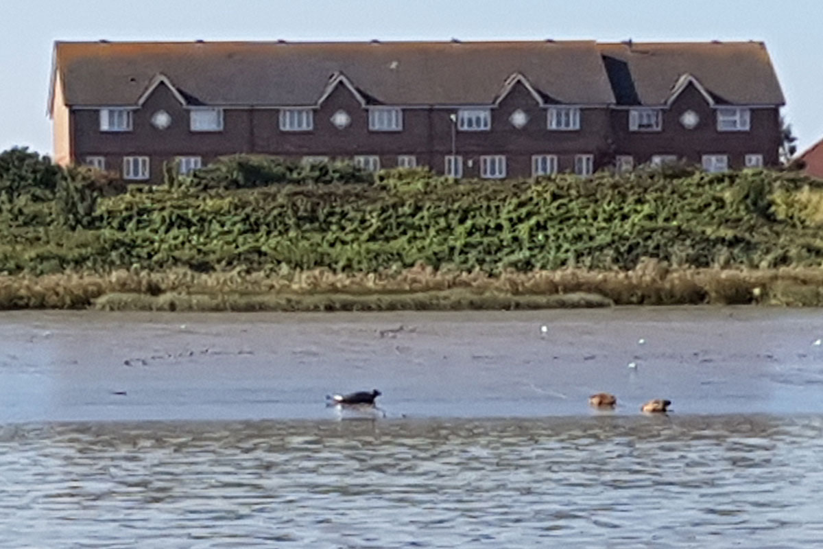 Seals on foreshore of the River Thames at Thamesmead