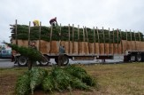 Load of Balsam Fir Christmas Trees from Nova Scotia