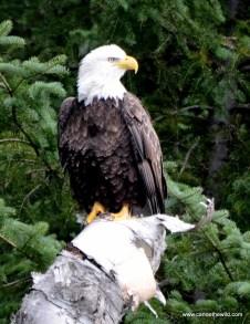 Bald Eagle Allagash