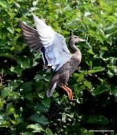 Mallard Jump Flight