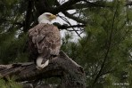 Maine-Canoe-Trips-Bald-Eagle-Sighting