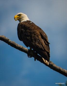 Bonaventure-River-Canoe-Trip-bald-eagle