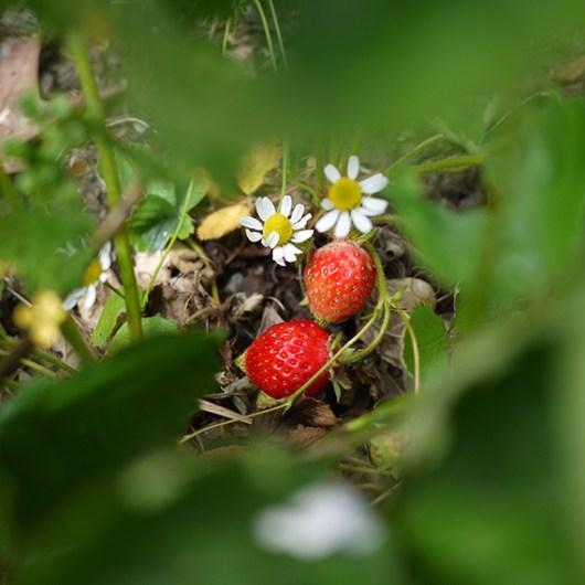 strawberry_season1