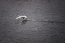 Running goose