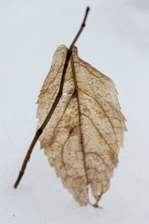 Dried out leaf in the snow