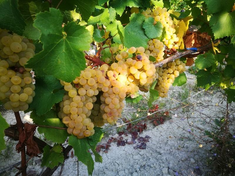 Grappoli per la produzione di Chardonnay doc dei Colli PIacentini pronti alla vendemmia